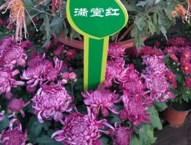 满堂红菊花