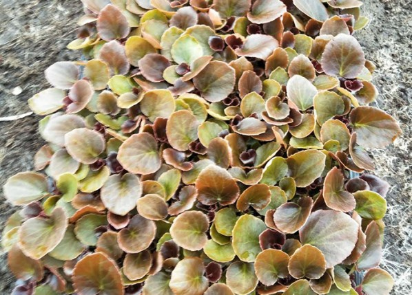 四季海棠小苗