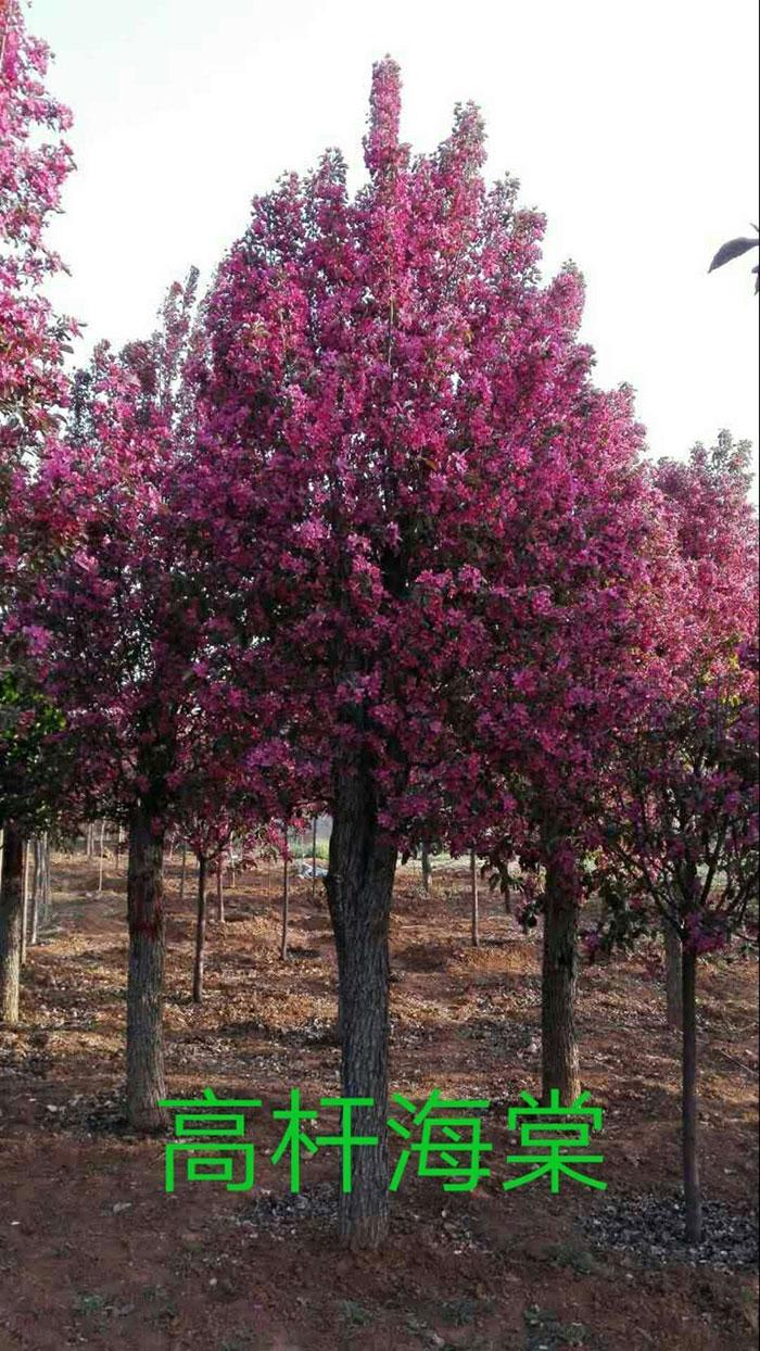 海棠树病害图片